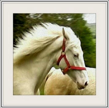 Super cremello filly 2013